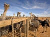 diesel-dust-southafrica_overberg-ostrich-farm-2-copy
