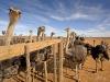 diesel-dust-southafrica_overberg-ostrich-farm-2-copy