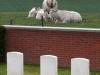 31-lone-tree-cemetery-heuvelland