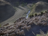 A flock of sheep walk along the road from Rhodes village to Naudes Nek Pass in the Southern Drakensberg od South Africa.