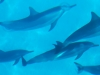 clear-waters-of-the-arabian-sea-dolphins-socotra
