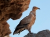 egyptian-vulture-socotra