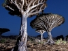 evening-light-in-dragons-blood-forest-socotra-copy