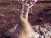 flowering-desert-rose-socotra
