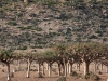 forest-of-frankinsence-trees-socotra