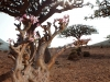 frankinsence-and-desert-rose-on-socotra