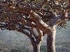 frankinsence-trees-socotra