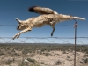 dead-fox-on-wire-outside-carnarvon-great-karoo-south-africa-2009