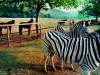 drakensberg-landscape-with-zebras-dragon-peaks-resort-south-africa-1999