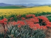flowering-aloes-with-canola-fields-hottentotsholland-mountains-near-caledon-sa-2000_0