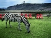 zebra-with-red-chairs-dragon-peaks-mountain-resort-drakansberg-mountains-south-africa-1997