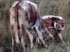 An Nguni cow with her calf on the fields outside the village of Geluksburg in the KwaZulu-Natal Province of South Africa.