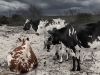 Nguni Cattle