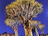 A full moon rises above a Quiver Tree forest near Keetmanshoop in southern Namibia.