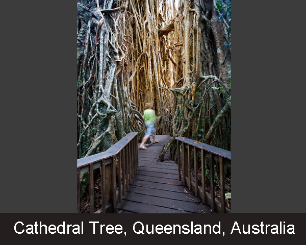 5. Cathedral Tree. Queensland . Australia