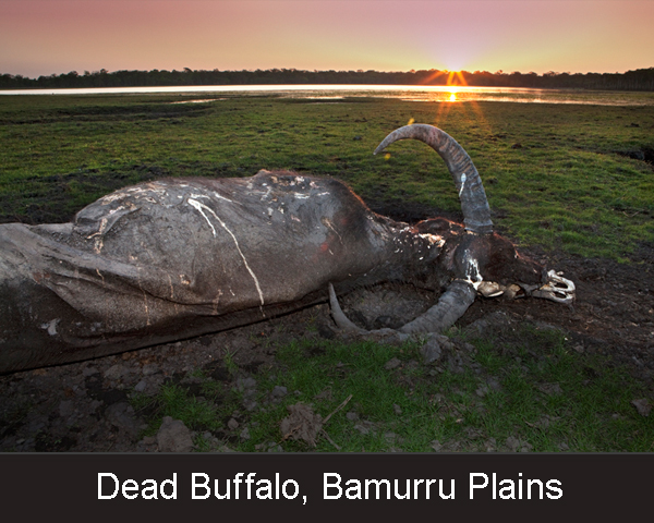 5. Dead Buffalo. Bamurru Plains