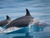 dolphins-arabian-sea-socotra