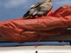 supreme-scavenger-egyptian-vulture-socotra