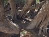 tamarind-trees-socotra
