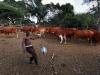 afrikaner-cattle-rolvark-farm-mooketsi-area-2010
