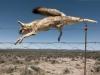 dead-fox-on-wire-outside-carnarvon-great-karoo-south-africa-2009