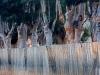 eucalyptus-trees-montagu-klein-karoo-south-africa-2008