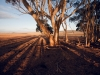 first-sunlight-with-eucalyotus-trees-bredasdorp-district-south-africa-2008_0