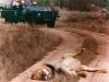 y9634 - Africa, South Africa, Londolozi. Male lion sleeping on a road after feeding on a buffalo.  - Afrika, Suedafrika, Londolozi. Schlafender Loewe auf einem Weg.  - 01.10 2001.  - 50 MB. Copyright: Obie Oberholzer / Bilderberg