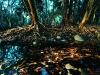 Quinine tree or Mingerhout, growing along stream near Barberton, Mpumalanga. South Africa. '99.