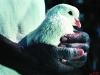 John holding white dove. Vumba Mountains. Eastern Highlands. Zimbabwe. '99.
