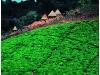 Tea plantations and huts. Honde Valley. Eastern Highlands. Zimbabwe. '99.