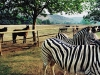 Horses and Zebras. Drakendberg area. South Africa, 1998.