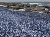 Blue Mussels, several meters deep, lie on a beach near Groenriviermond on South Africa's desolate Atlantic West Coast.